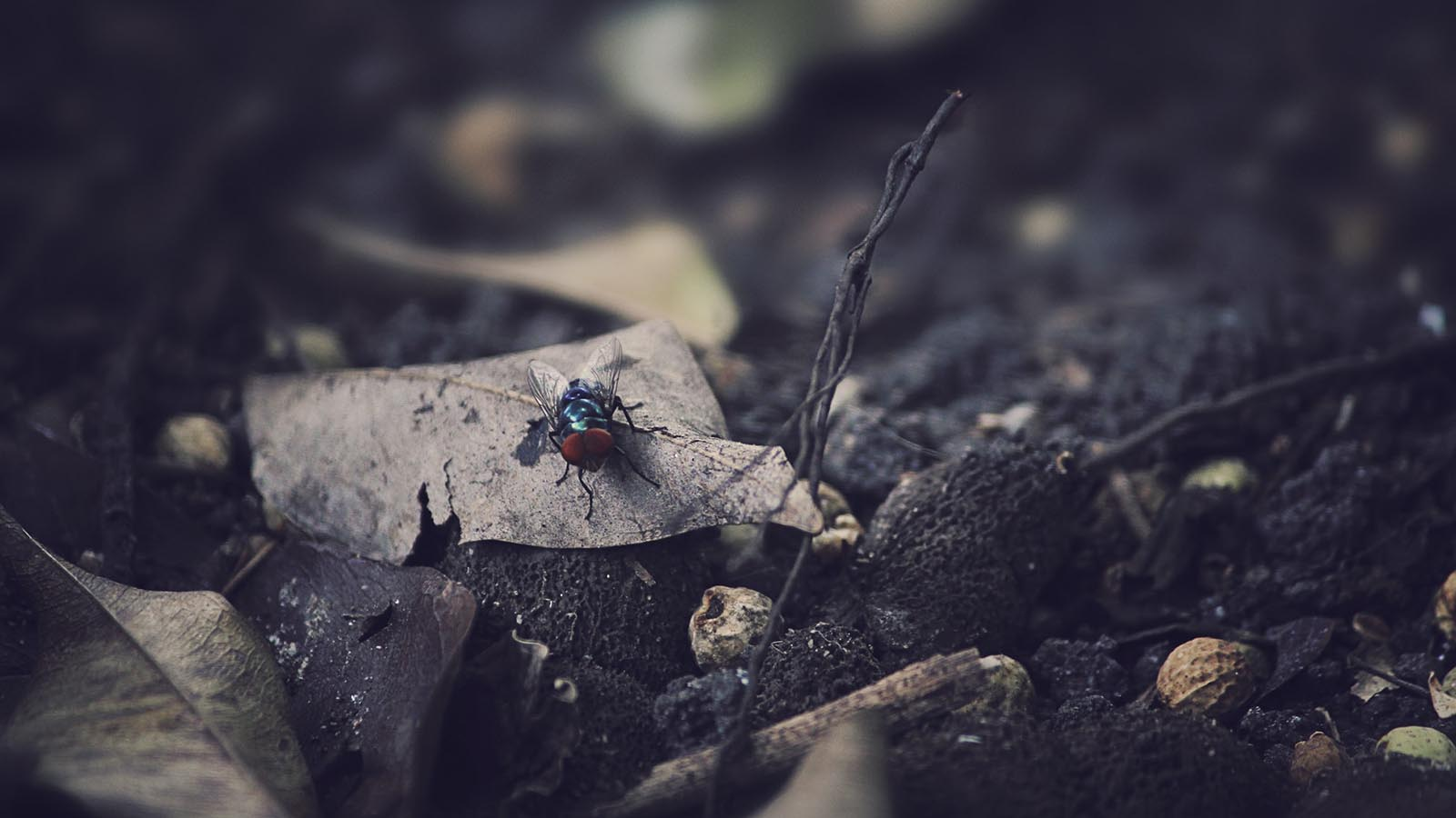 Picture of a fly sitting on a leaf.