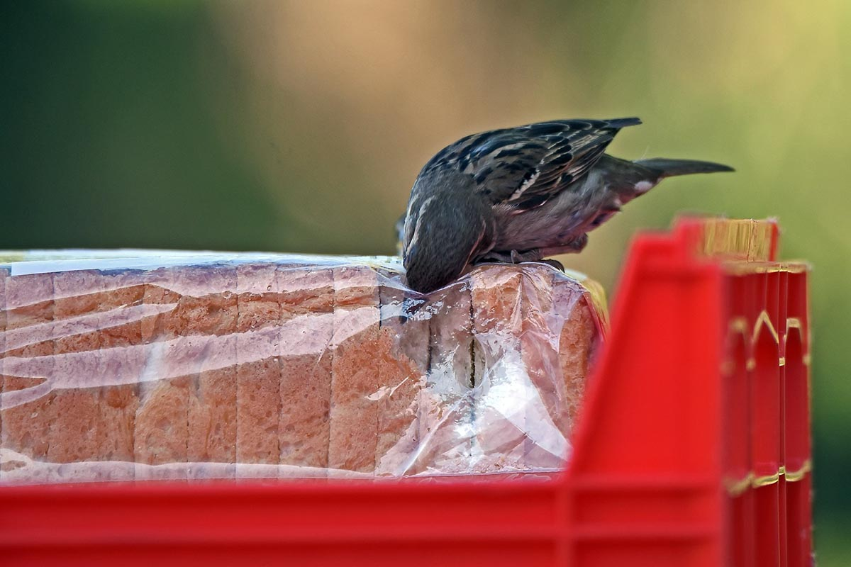 A picture of a little bird eating from a loaf of bread that is wrapper in plastic.